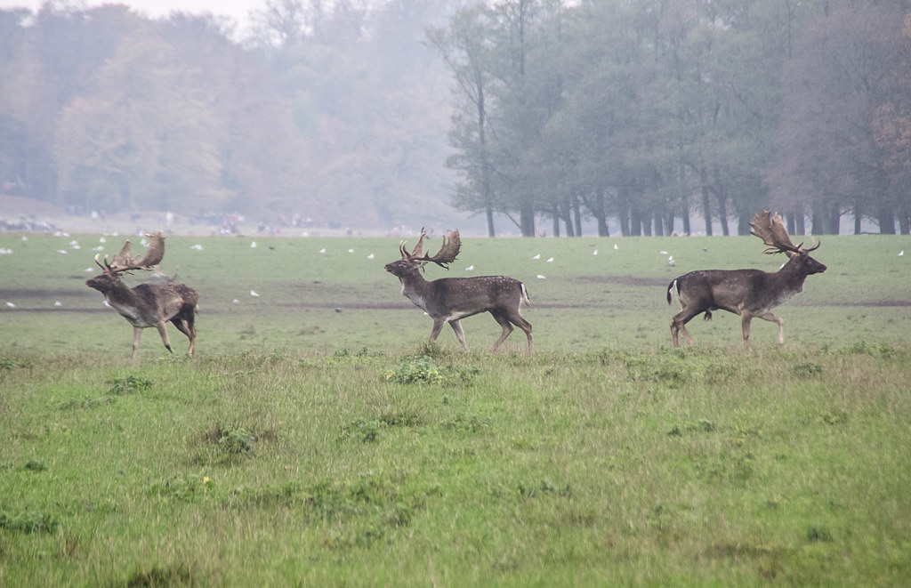 Three Red Deer, Denmark