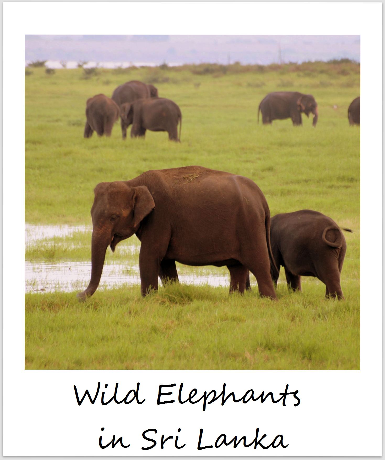 polaroid of the week sri lanka wild elephants