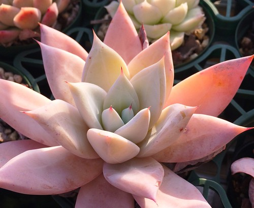 Echeveria 'Mexican Giant'