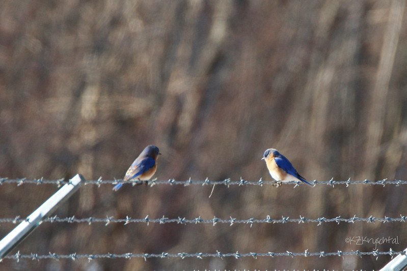 IMG_7627EasternBluebirds