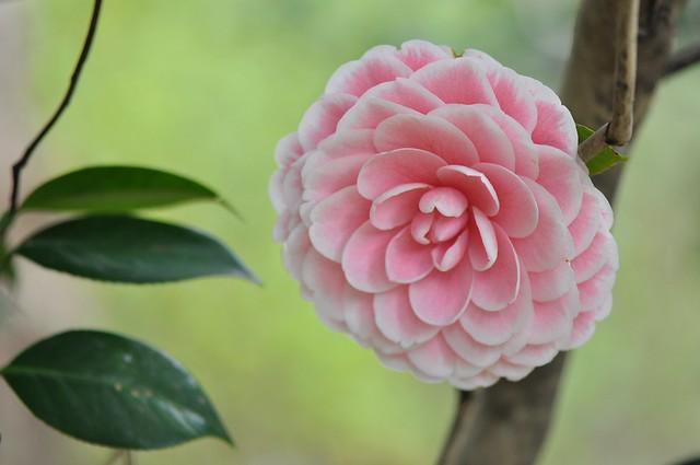 義民廟茶花 (12)