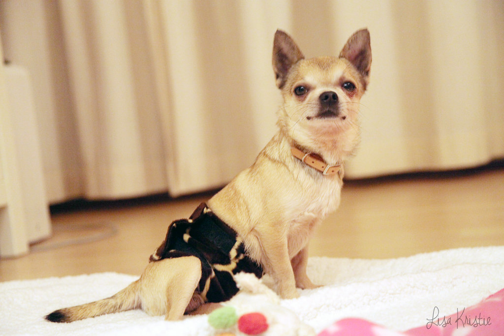 chihuahua portrait breeder adult male smooth coat short haired cream beige tan brown black white diaper cute small tiny dog portrait leather collar