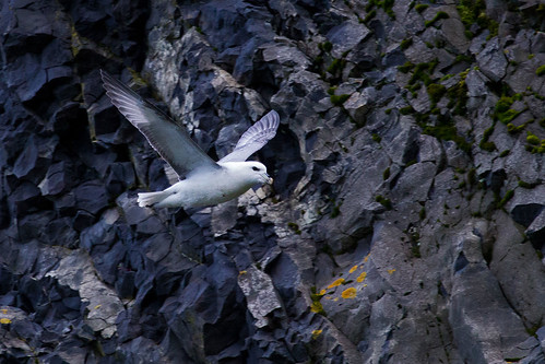 Northern Fulmar - Stormfågel