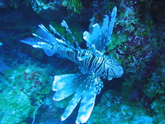 Lionfish on Black Tip Wall, Exuma Cays, Bahamas