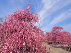 Weeping Ume trees. 枝垂れ梅