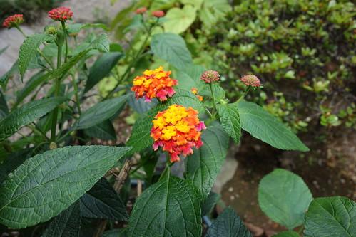 "lantana_4 ""ランタナ"" の花の写真。 緑色の葉。 黄色と橙色と赤色の花。"