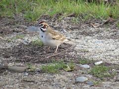 Lark Sparrow 2/1/15