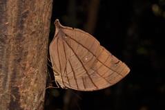 Amathuxidia amythaon