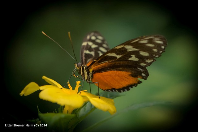 Butterflies of Mainau # פרפרים במינאו