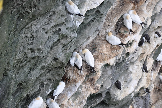 Gannets at the Shetland Is