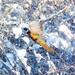 Awakening Pheasant by kayladanielle303