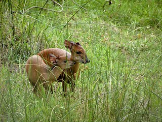 Doe & Fawn Natal Red Duiker, Isimangaliso, South Africa