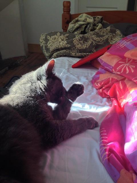 Big Grey Cat Says Good Morning