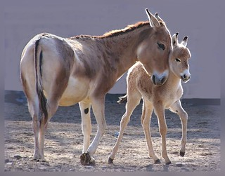 Onager, Equus onager onager