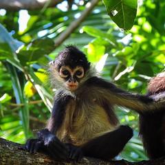 tufted capuchin(0.0), squirrel monkey(0.0), capuchin monkey(0.0), langur(0.0), marmoset(0.0), white-headed capuchin(0.0), macaque(0.0), animal(1.0), monkey(1.0), mammal(1.0), fauna(1.0), spider monkey(1.0), old world monkey(1.0), new world monkey(1.0), jungle(1.0), wildlife(1.0),