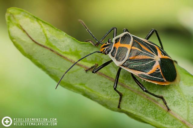 Stink Bug (Hemiptera)