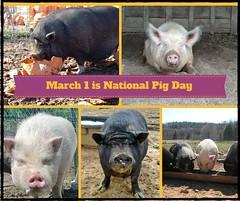 Celebrate National Pig Day!