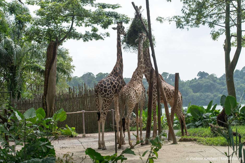 Жирафы в Сингапурском зоо парке