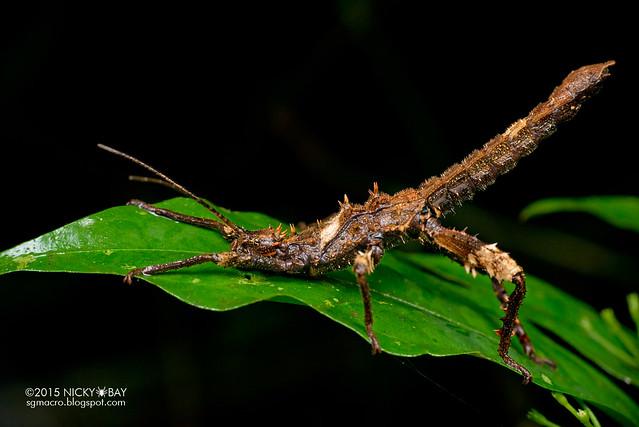 Stick insect (Phasmatodea) - DSC_2887