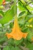 Orange Bell Flower Haiku