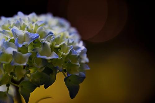 sapporo hokkaido japan maruyamapark flower hydrangea アジサイ 紫陽花 札幌 北海道 円山公園 nikon d750 sigmaapomacro150mmf28 sigma 150mm macro kaifudo