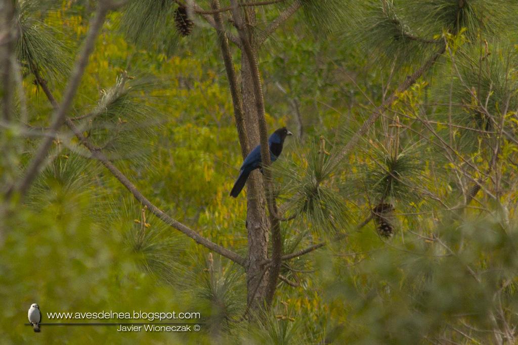 Urraca azul (Azure Jay) Cyanocorax caeruleus