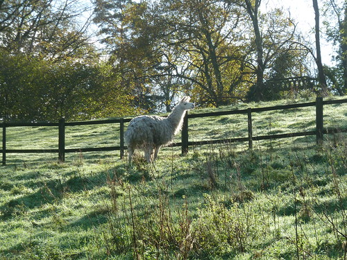 Llama Morning (Milford to Godalming)