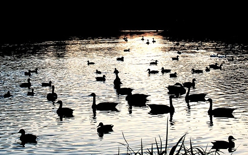 park sunset shadow lake reflection water birds evening geese washington illinois pond october springfield 2014