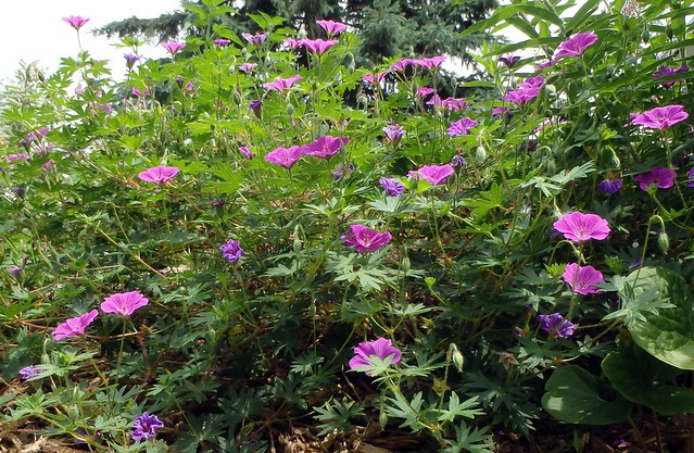 side view of tiny monster geranium with about 30 tall flowers
