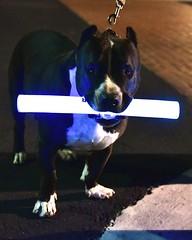 puppy(0.0), boston terrier(0.0), animal(1.0), pit bull(1.0), dog(1.0), pet(1.0), mammal(1.0), blue(1.0), terrier(1.0),