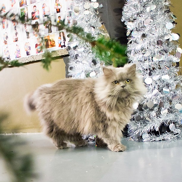 Goblin thinks Christmas is the greatest time ever. Every single thing is a new fantastic toy to him.    #goblin #cats #cat #persiancat #Persian #fluffy #fluffball #kitten #furry #catsofinstagram #greycat  #persiancatsofinstagram #meow  #petsofinstagram #C