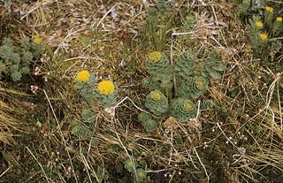 Rose root, Saggat (Sakkat), Jokkmokk, Lappland, Sweden