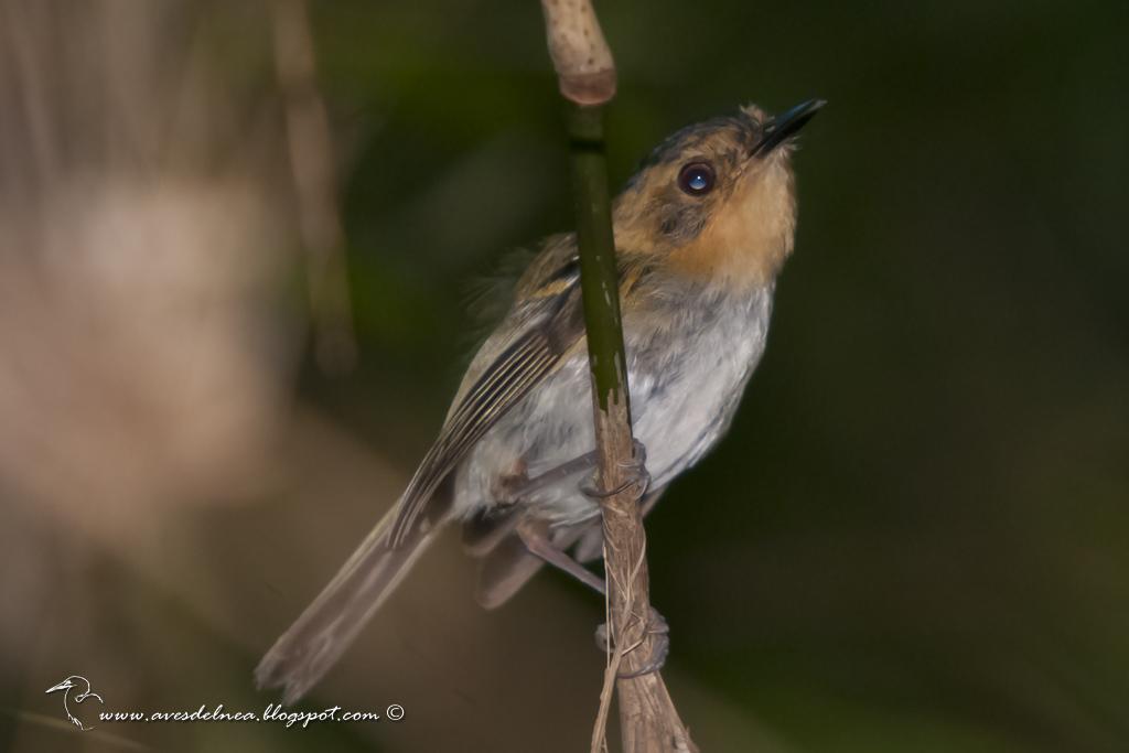 Mosqueta cabeza canela (Ochre-faced Tody-Flycatcher) Poecilotriccus plumbeiceps