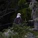 Bald eagle (Haliaeetus leucocephalus) by rosie.perera