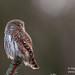 Pygmy Owl (Glaucidium passerinum) by Stefan Johansson.