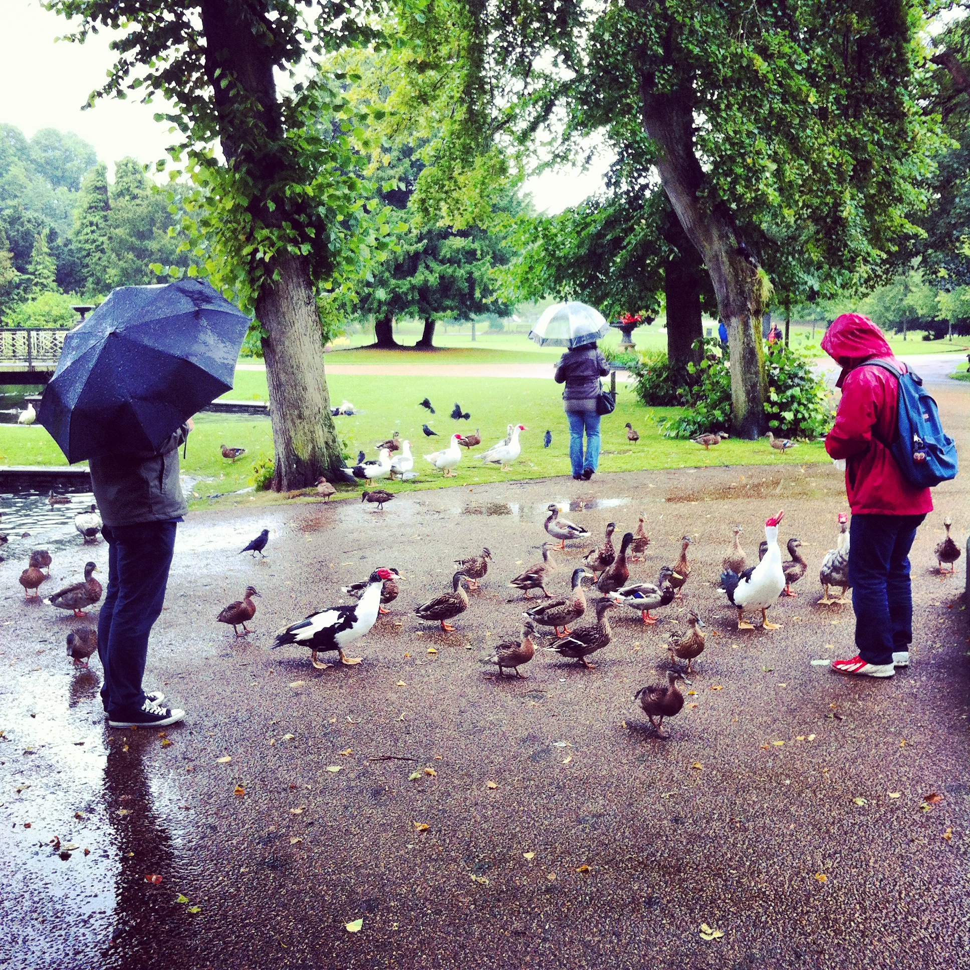 Feeding the Ducks in the Rain