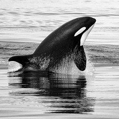 A warm heart amidst the coldest waters.  #orca #whale