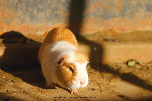park england animal animals guineapig kent wildlife wingham winghamwildlfiepark