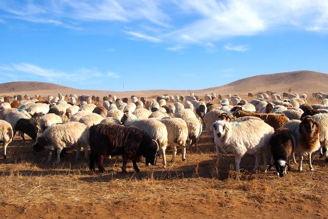 sheep, Ulaanbaatar, Mongolia