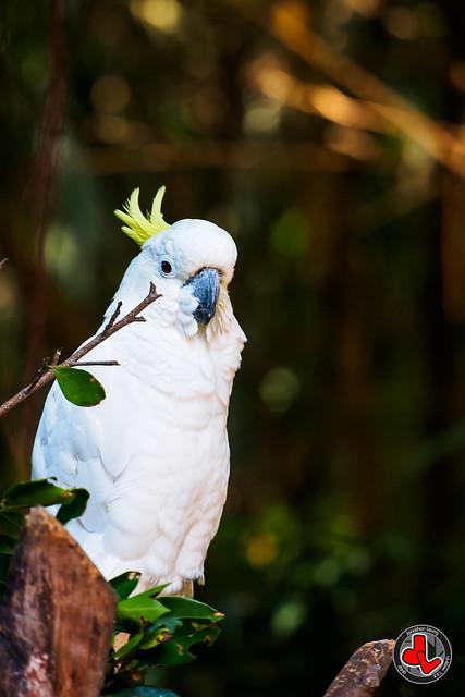Photo:Yellow-crested Cockatoo By jonathan.leung