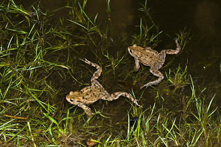 MG 7884 Two swimming toads