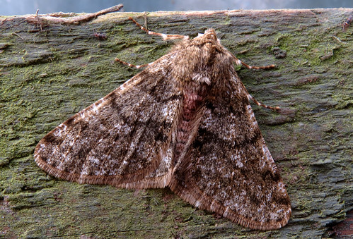 Pale Brindled Beauty Phigalia pilosaria Tophill Low NR, East Yorkshire February 2015