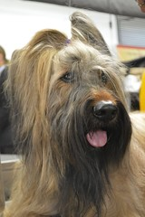tibetan terrier(0.0), norfolk terrier(0.0), glen of imaal terrier(0.0), irish wolfhound(0.0), cairn terrier(0.0), irish soft-coated wheaten terrier(0.0), australian terrier(0.0), dog breed(1.0), animal(1.0), berger picard(1.0), dog(1.0), schnoodle(1.0), pet(1.0), australian silky terrier(1.0), vulnerable native breeds(1.0), catalan sheepdog(1.0), sapsali(1.0), carnivoran(1.0), terrier(1.0),