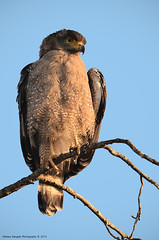 Crested serpent eagle in a beautiful morning.