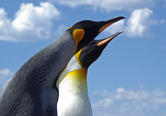 Two King penguins in the Falklands