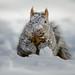Snowy Squirrel_42979.jpg
