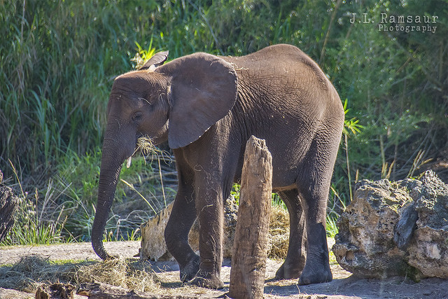 Baby African Elephant - Disney's Animal Kingdom