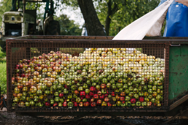 Hereford Apple Harvest Cider Bulmers by Sarka Babicka Photography