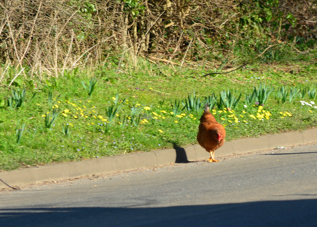 20140309-17_Northampton Lane - escaped chicken (Red Hen) Dunchurch