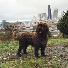 bouvier des flandres(0.0), miniature poodle(1.0), dog breed(1.0), animal(1.0), dog(1.0), pumi(1.0), lagotto romagnolo(1.0), mammal(1.0), irish water spaniel(1.0), goldendoodle(1.0), portuguese water dog(1.0), spanish water dog(1.0), barbet(1.0),